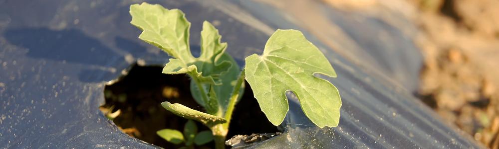 planta-de-sandía-en- acolchado