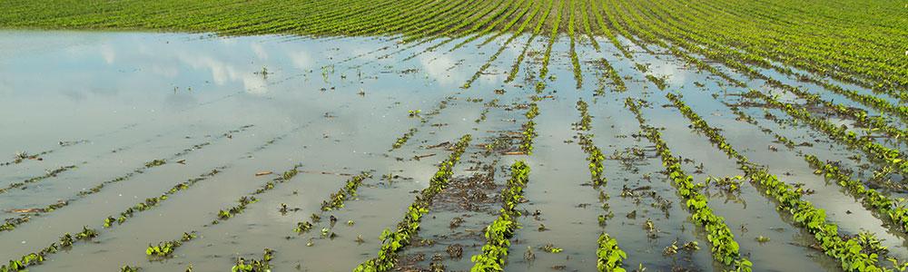 Destrucción de cultivo por inundación.