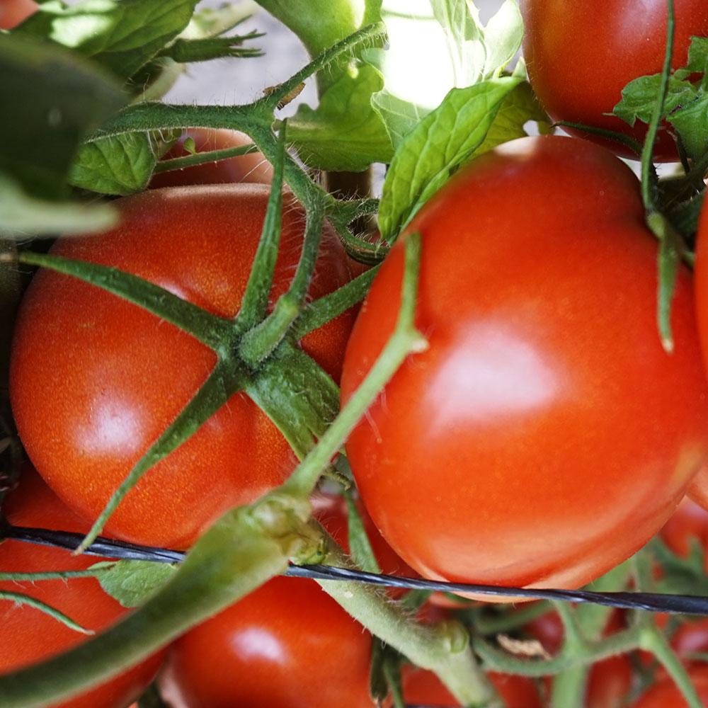 Tomate SVTE8444 Seminis