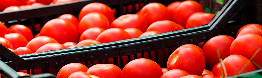 Cosecha-de-tomates