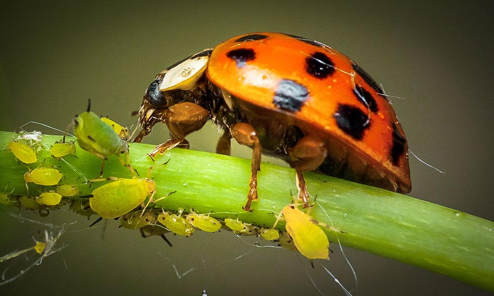 Insectos  depredadores