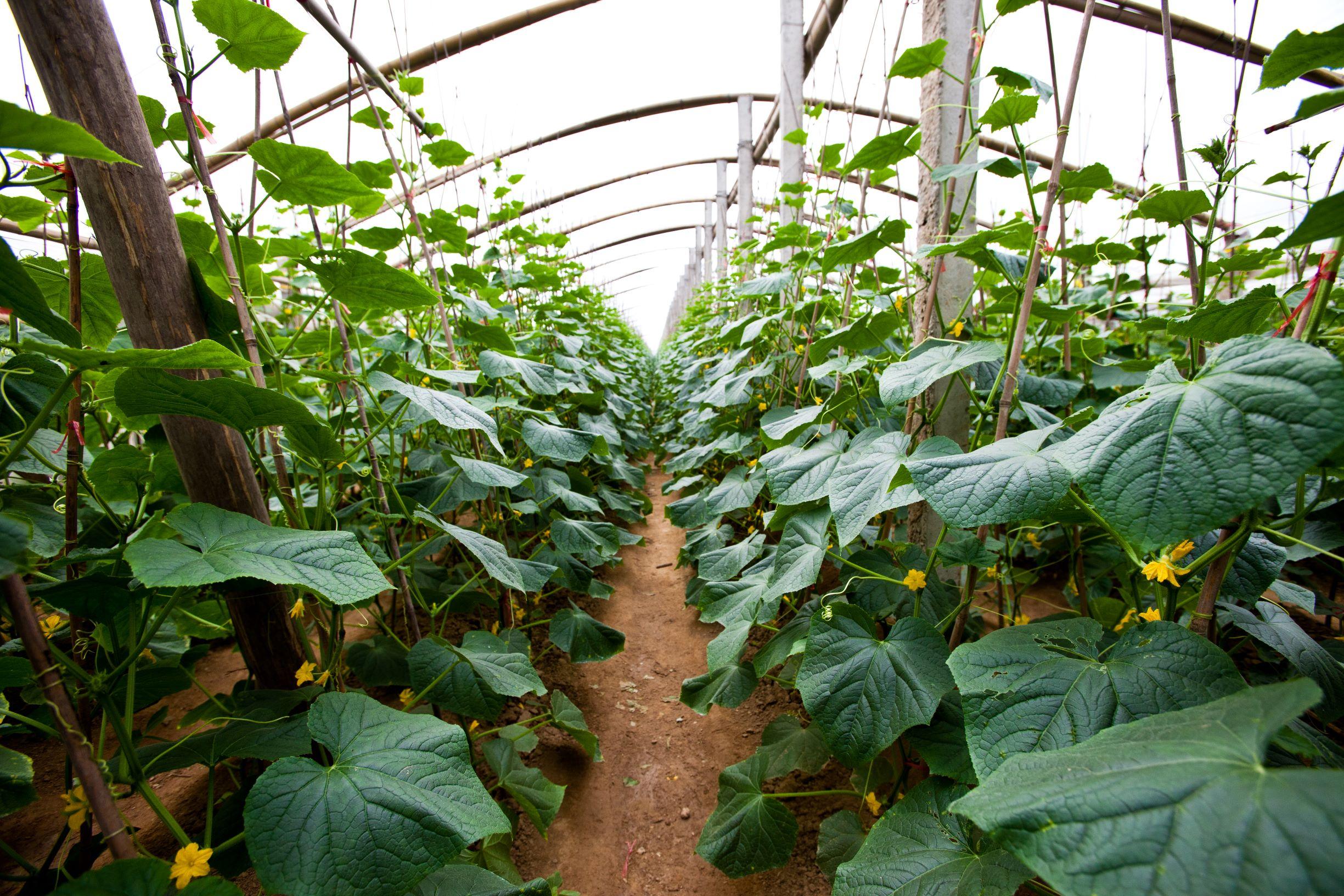 La producción de pepino en cultivos protegidos | Seminis